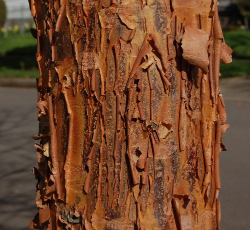 acer griseum paperbark maple bark clawed by cat 031414