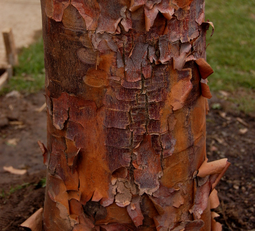 acer griseum paperbark maple blocky bark 022314
