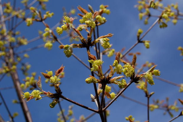 acer griseum paperbark maple flowers 041514