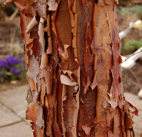 acer griseum paperbark maple shaggy bark 022314