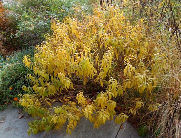 amsonia tabernaemontana bluestar fall color