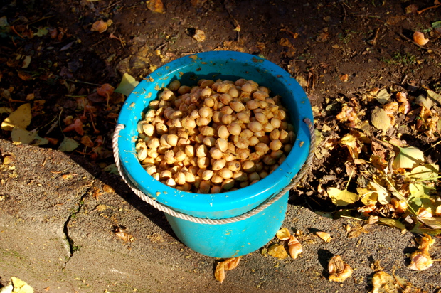 bucket of ginkgo biloba seeds 111114