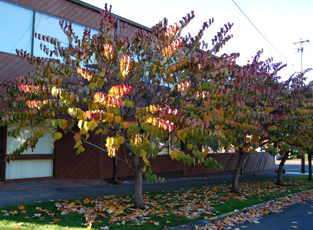 cercis canadensis forest pansy in fall 111014