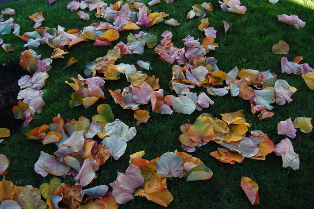 cercis canadensis forest pansy redbud fall leaves111014