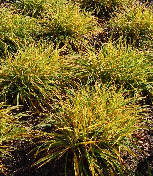 hemerocallis happy returns daylily fall color