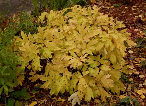 paeonia peony foliage in fall yellow
