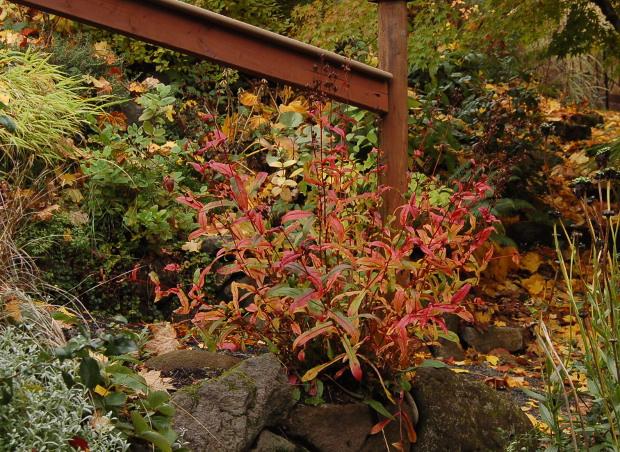 penstemon digitalis colorful fall foliage