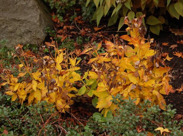 platycodon sentimental blue balloonflower yellow fall foliage