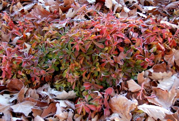 sedum ellacombianum gummi bear fall color