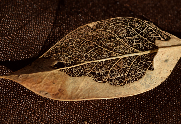 beauty of death in the garden half skeletonized leaf 113014 015