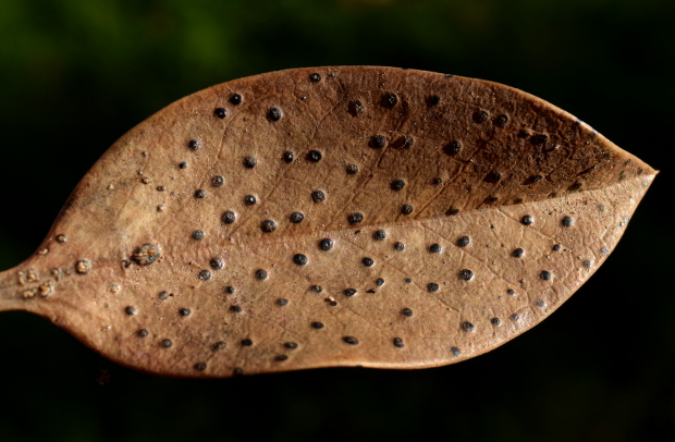 beauty of death in the garden polka dot leaf 113014 148
