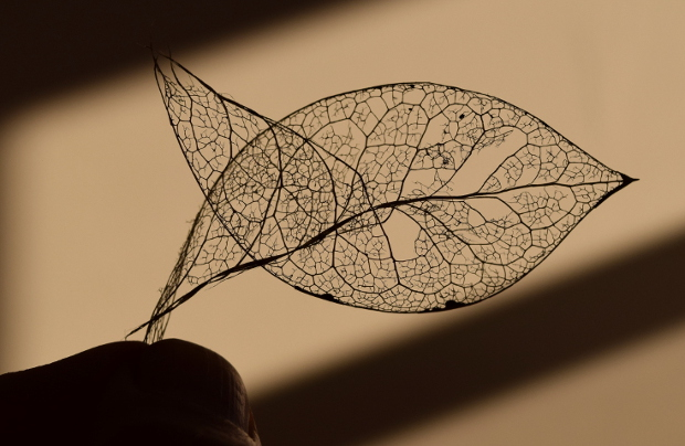skeletonized leaf looks like a fish 113014