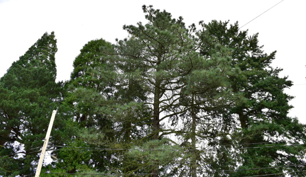incense cedar big green conifers 010915 089