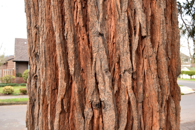 incense cedar calocedrus decurrens bark 010915 028