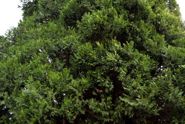 incense cedar calocedrus decurrens foliage 010915 145