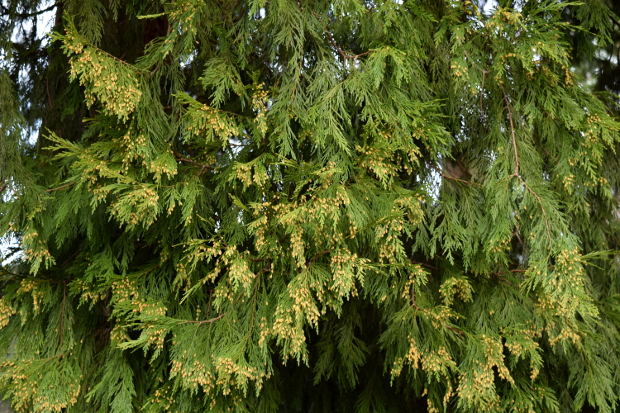 incense cedar calocedrus decurrens foliage male cones 010915 058