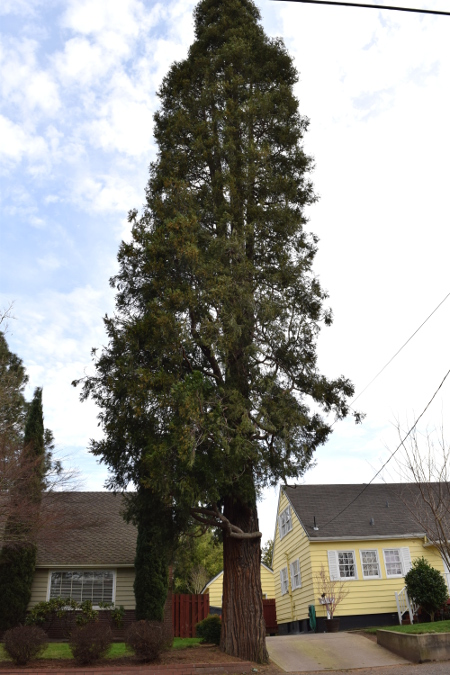 incense cedar calocedrus decurrens tree 010915 043