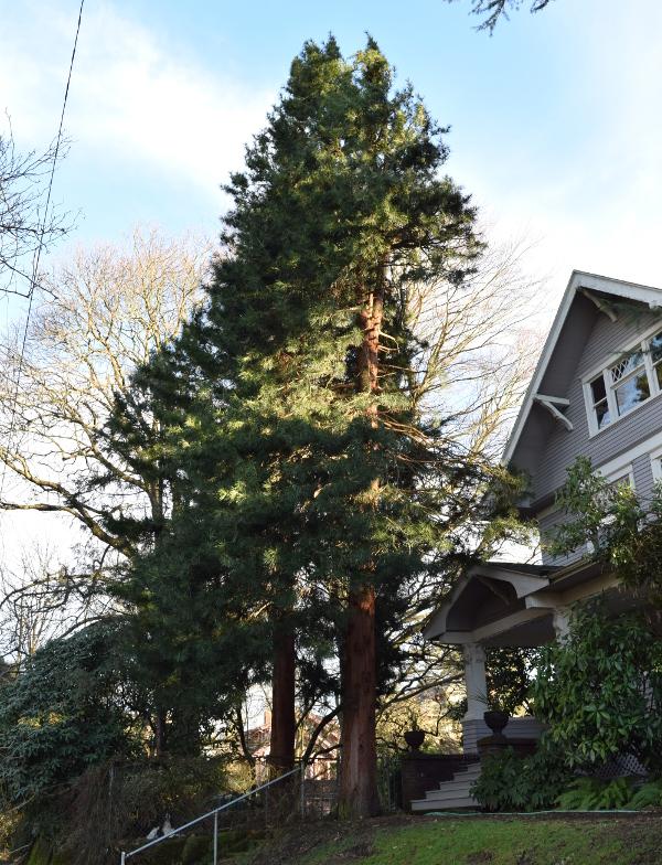 sciadopitys verticillata japanese umbrella pine after 012415 188