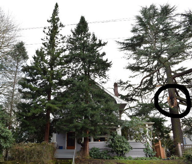 sciadopitys verticillata japanese umbrella pine and cedar tree 012415 124
