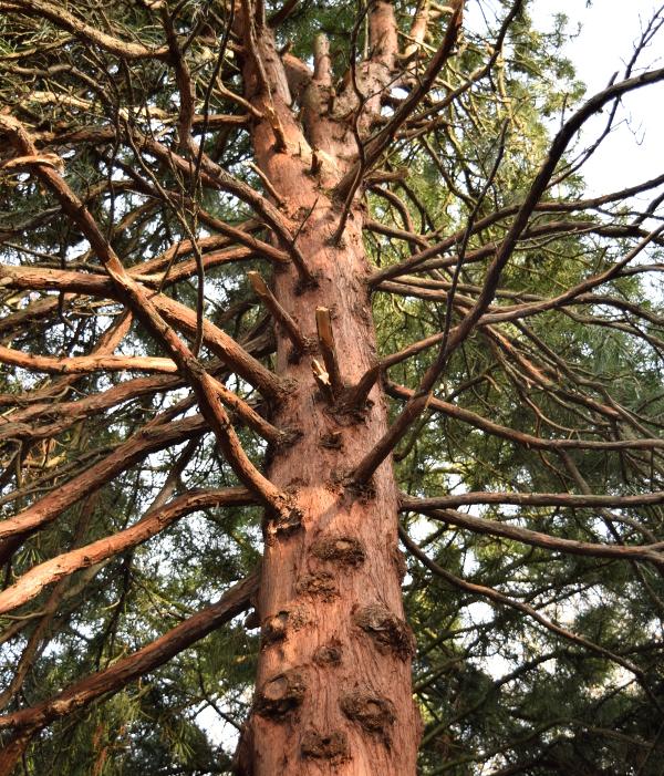 sciadopitys verticillata japanese umbrella pine bark 012415 163