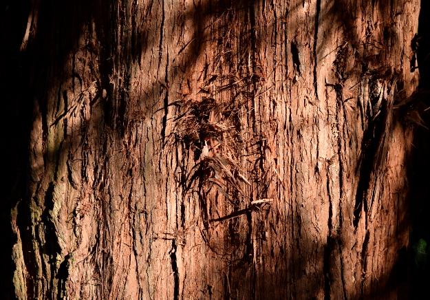 sciadopitys verticillata japanese umbrella pine bark 012515 096