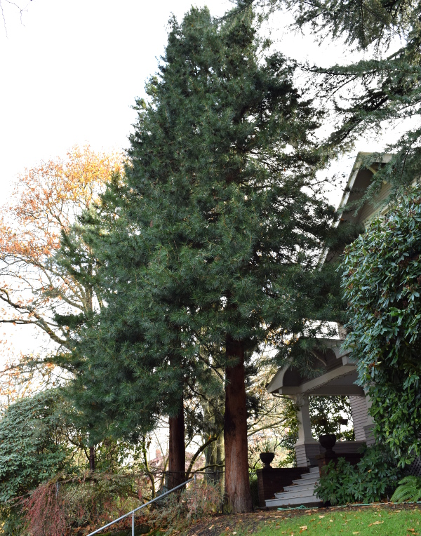 sciadopitys verticillata japanese umbrella pine before 120614 090