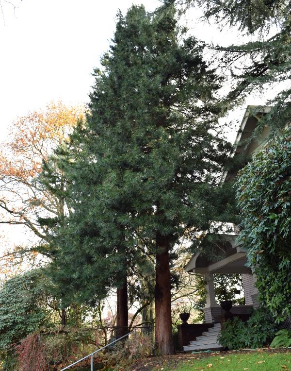 sciadopitys verticillata japanese umbrella pine before 120614 090