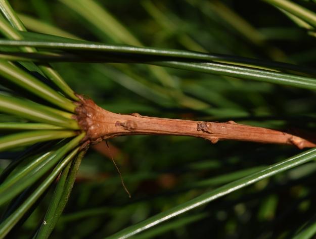 sciadopitys verticillata japanese umbrella pine cladodes 012515 068