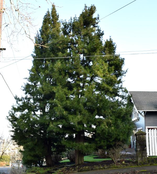 sciadopitys verticillata japanese umbrella pine cornell 012415 078