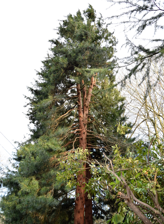 sciadopitys verticillata japanese umbrella pine damage 012415 158