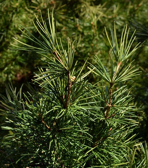 sciadopitys verticillata japanese umbrella pine foliage 012515 057