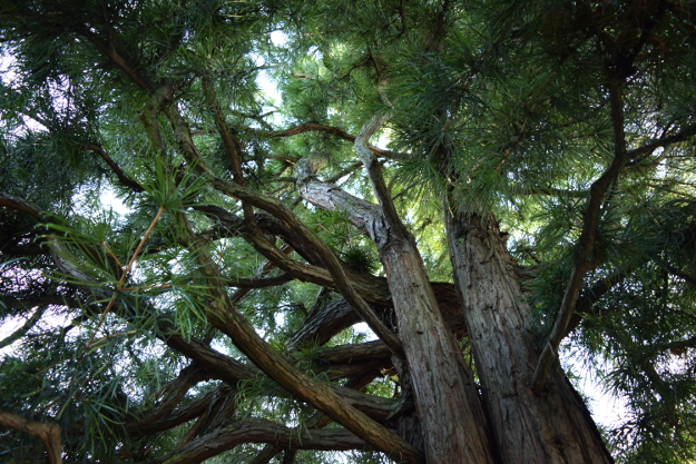 sciadopitys verticillata japanese umbrella pine from below 012415 044
