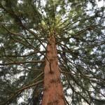 Japanese Umbrella Pine (Sciadopitys): A Living Fossil