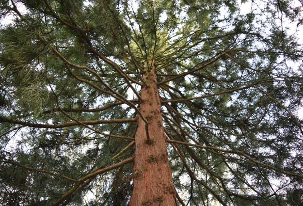 sciadopitys verticillata japanese umbrella pine from inside 012415 137