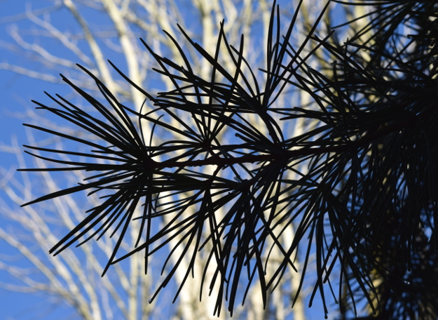 sciadopitys verticillata japanese umbrella pine silhouette 012515 150