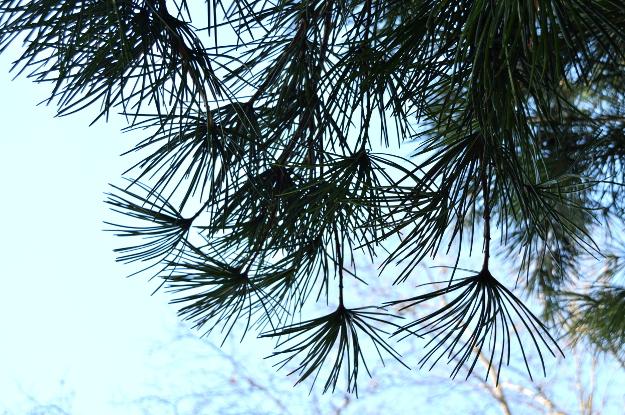 sciadopitys verticillata japanese umbrella pine silhouette needles 012415 028