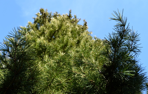 sciadopitys verticillata japanese umbrella pine up foliage 012515 165