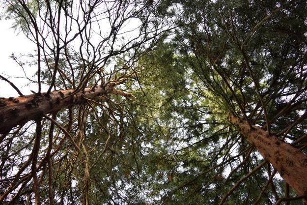 sciadopitys verticillata japanese umbrella pine up view both 012415 145