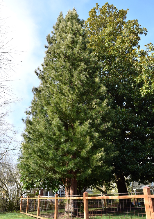 sciadopitys verticillata japanese umbrella pine with magnolia 012515 028