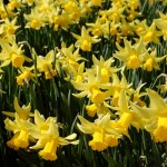 Nine Fantastic Daffodils in Order of Bloom