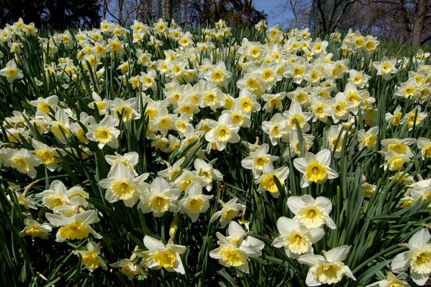 narcissus ice follies daffodil 032710 102