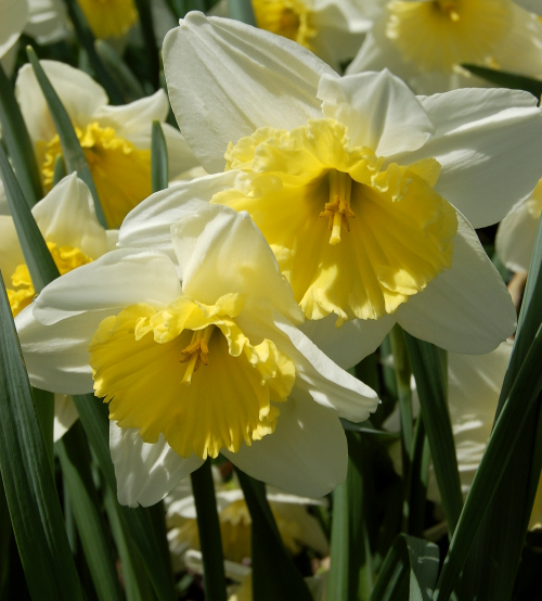 narcissus ice follies daffodil 032710 105