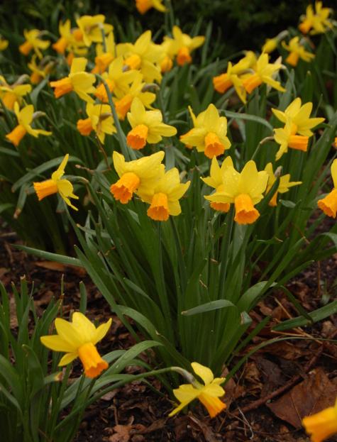narcissus jetfire daffodil 032011 037