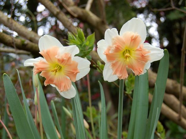 narcissus pink split corona daffodil 033114 149