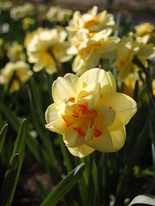 narcissus tahiti daffodil 040910 033