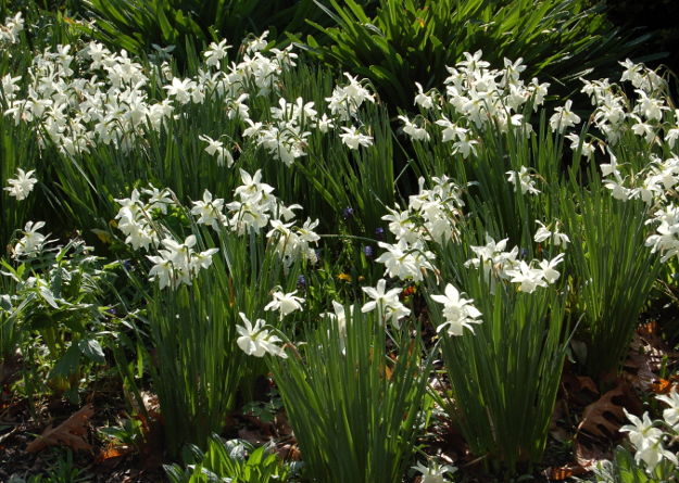 narcissus thalia daffodil 040911 162