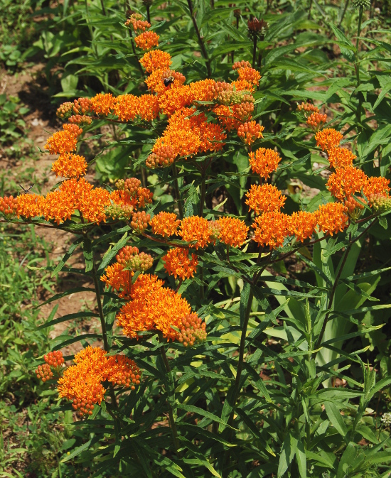 asclepias tuberosa in bloom 061211 174