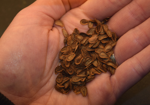 asclepias tuberosa milkweed seeds 031515 017
