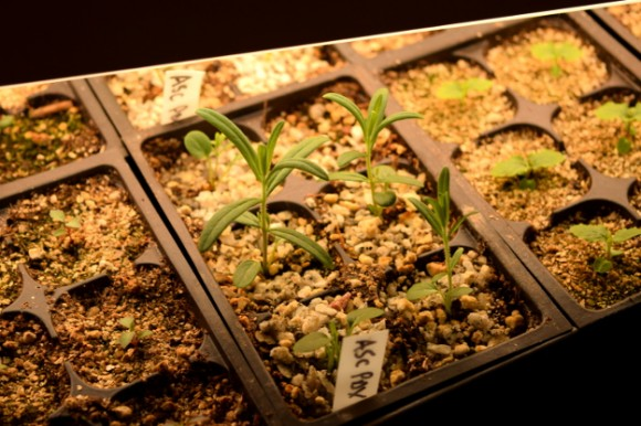 milkweed seedlings raised under lights 031515 057