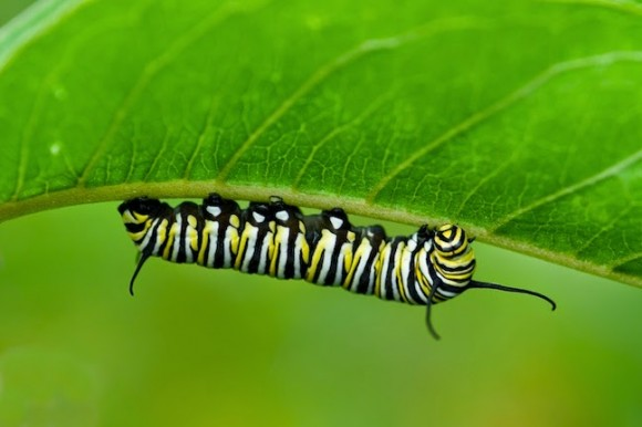 monarch butterfly caterpillar janet loughrey